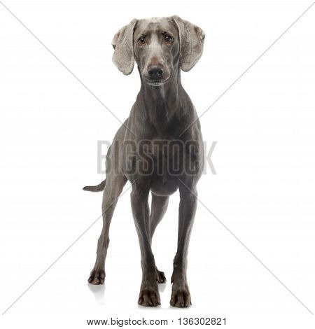 weimaraner staying in white photo studio background