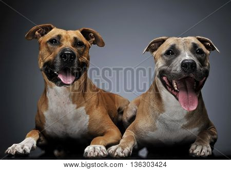 Two Staffordshire Terrier In A Dark Studio