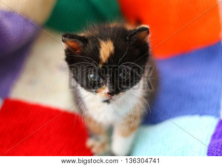 A tortoiseshell kitten on a colourful patchwork blanket
