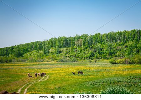 Horses walking in the meadow with flowers, on a Sunny Summer day, Nature and freedom