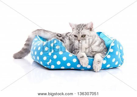 Cute American Shorthair kitten lying in cat bed on white background isolared