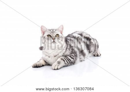 Cute American Shorthair kitten lying and looking up on white background isolated