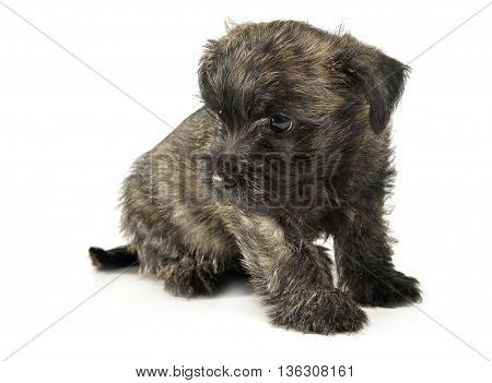Puppy  Cairn Terrier Sitting On The Floor