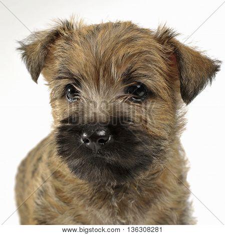 Puppy cairn terrier portrait in white studio
