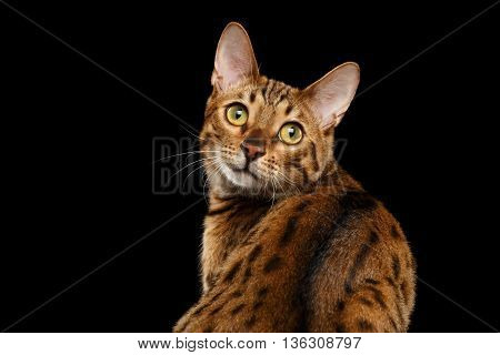 Close-up Curious Face of Bengal female Cat with beautiful spots on Back, Sitting and Looking up with Interest, Isolated Black Background