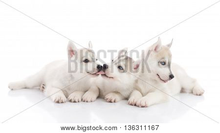 Cute siberian husky puppies lying on white background isolated