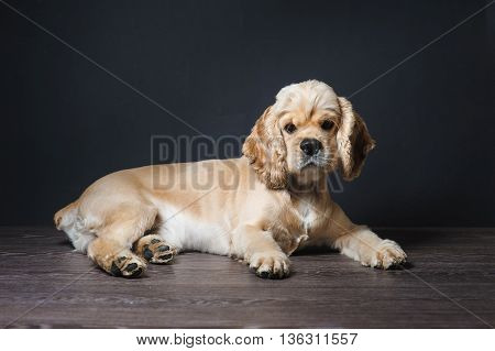 American cocker spaniel lying on dark background. Young purebred Cocker Spaniel. Dog Staring at Camera.