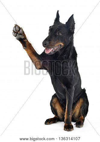 Beauceron Gives You A Five In A White Background Studio