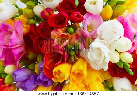 Bunch of fresh colorful freesia flowers close up background