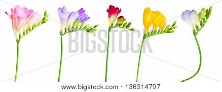 Fresh pink, re, violet, blue and yellow freesia flowers with buds twig isolated on white background
