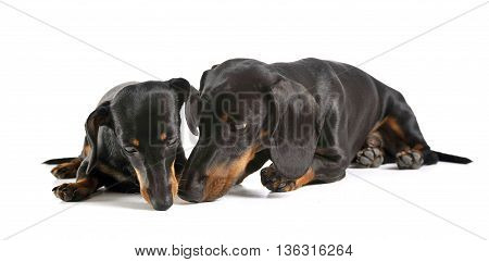 Two Short Hair Dachshund Smelling In A White Studio