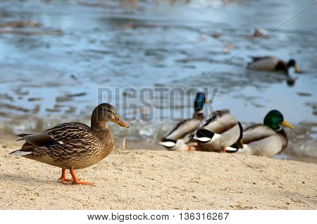 Duck in the wild near the lake
