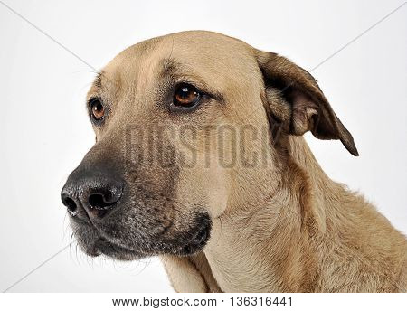 Mixed Breed Brown Dog Portrait In White Studio