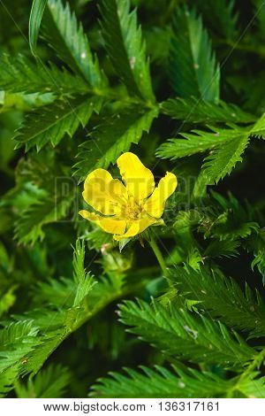 Silverweed, Potentilla anserina leaf and yellow flower.