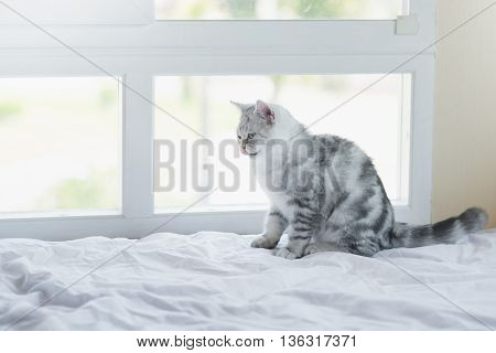 Cute American Shorthair kitten licking lips and looking on white bed