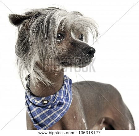 Very Cute Chinese Crested Dog  Portrit In White Background