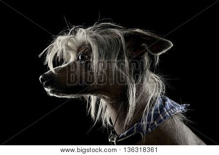 Very Cute Chinese Crested Dog  Portrait In Black Background