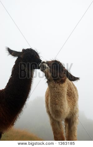 Llama'S In The Fog On Machu Picchu