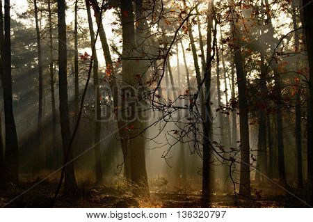 Nature background of heavenly sunlight coming through trees in forest during autumn season with copy space