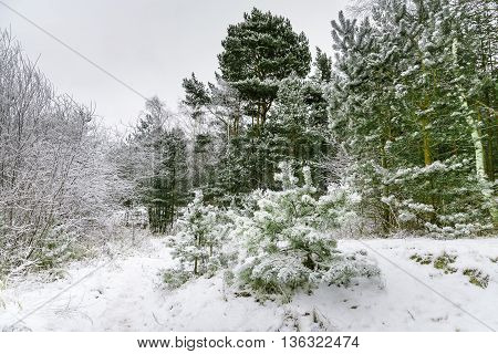 Winter covered in snow pine forest in Jurmala , Latvia