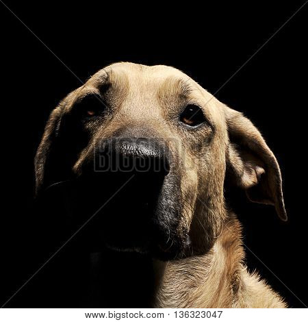 Mixed Breed Brown Dog With Magic Eyes Portrait In Black Background