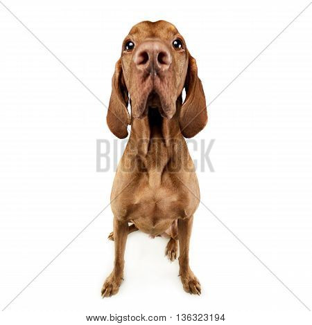 Funny Hungarian Vizsla With Huge Nose In White Studio