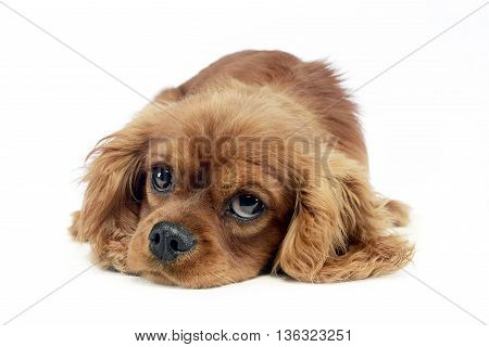 Cute Puppy Cavalier King Charles Spaniel Lying And Looking Up In A White Studio