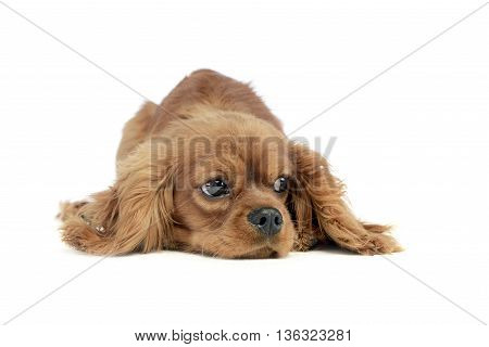 cute puppy Cavalier King Charles Spaniel lying and looking sideways in a white studio