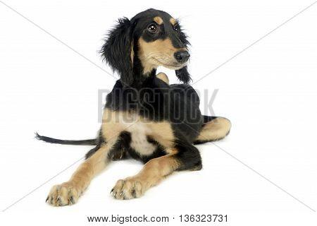 Puppy saluki listen in white photo studio