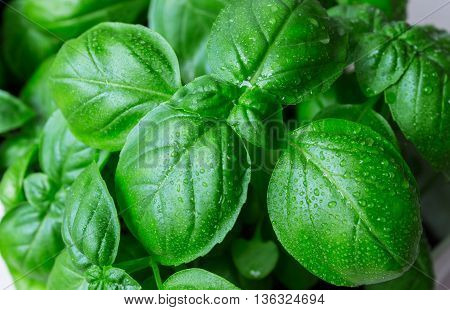green basil leaves ready to taste the tasty kitchen recipes