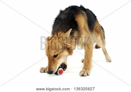 Cute Mixed Breed Dog Bite A Ball In White Studio