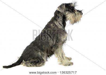puppy schnauzer sitting in a white studio