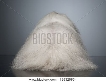 White Long Hair Funny Dog Turns His Back In Graduated Background