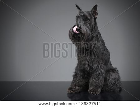 Miniature Schnauzer Licking His Lips In A Gray Studio Background
