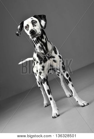 Cute Dalmatians Standing In Gray Background Photo Studio