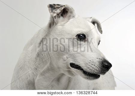 White Mixed Breed Dog With Funny Ears Portrait In White Background