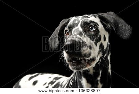 Cute Dalmatians Portrait In Black Background Photo Studio
