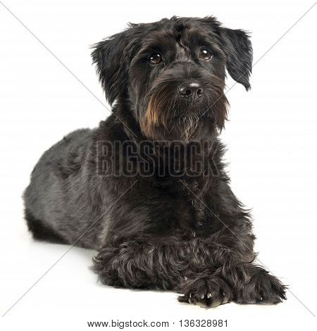Mixed Breed Wired Hair Dog Looking  In White Studio