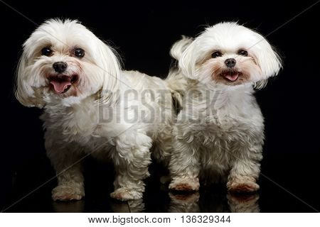 Two Shih-tzu In The Dark Photo Studio