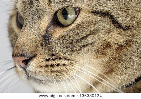 domestic cat head shot  in a grey photo studio