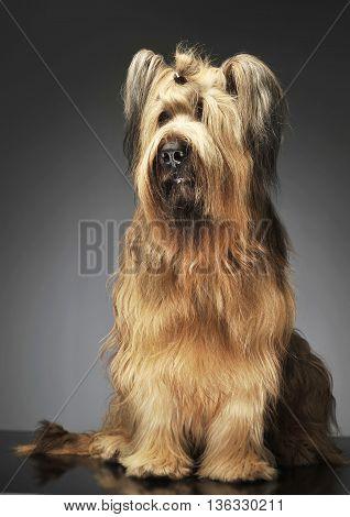 Berger De Brie Posing In A Grey Photo Studio