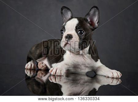 Puppy Boston Terrier Relaxing In Photo Studio