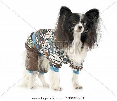 Cute Papillon Standing In A White Background
