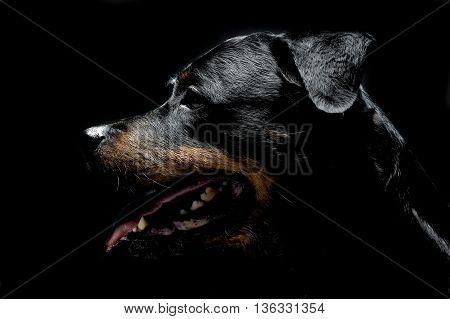 Rottweiler Portrait In The Balck Photo Studio