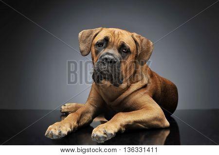 Puppy Cane Corso In Gray Background Photo Studio