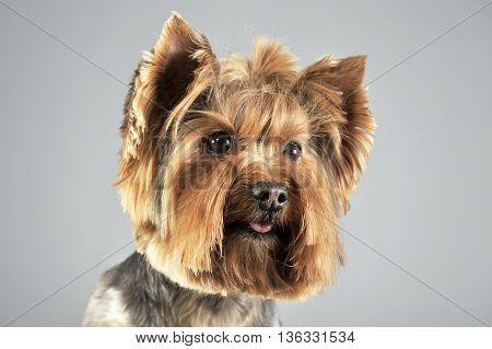 Yorkshire Terrier In A Grey Photo Studio