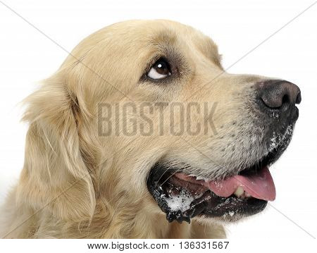 Sweet Golden Retriever In A White Studio Background Holding Ball In His Mouth