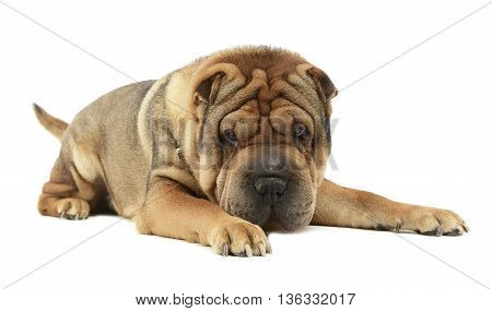 Very Nice Shar Pei Enjoy The Studio Photo Shoot