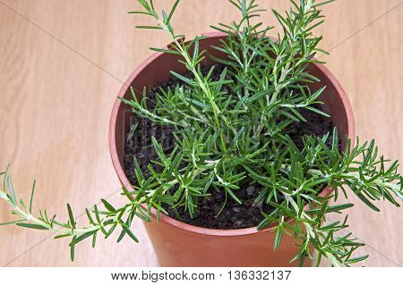 Rosemary herb growing in plant pot - young cutting ready to transplant.
