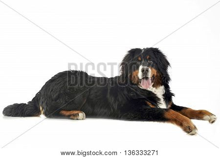 Bernese Mountain Dog Lying In The White Photo Studio